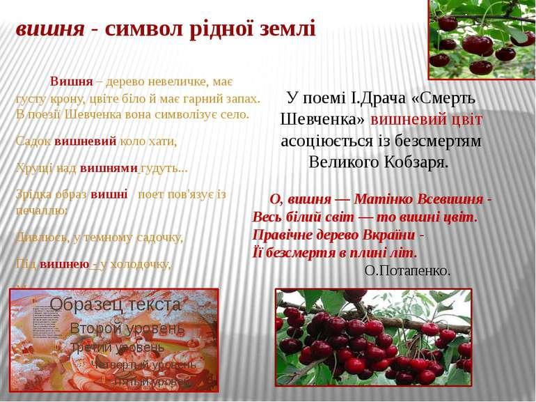 вишня - символ рідної землі Вишня – дерево невеличке, має густу крону, цвіте ...
