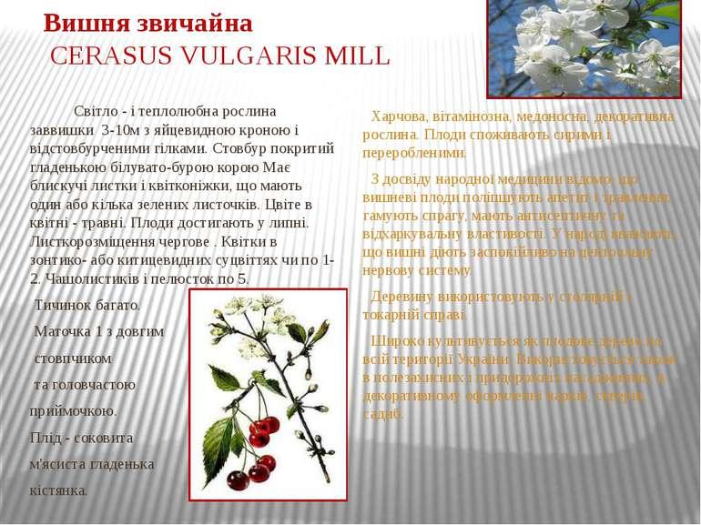 Вишня звичайна CERASUS VULGARIS MILL Світло - і теплолюбна рослина заввишки 3...