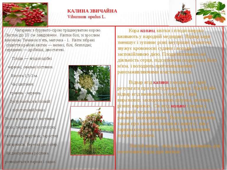 КАЛИНА ЗВИЧАЙНА Viburnum opulus L. Чагарник з бурувато-сірою тріщинуватою кор...