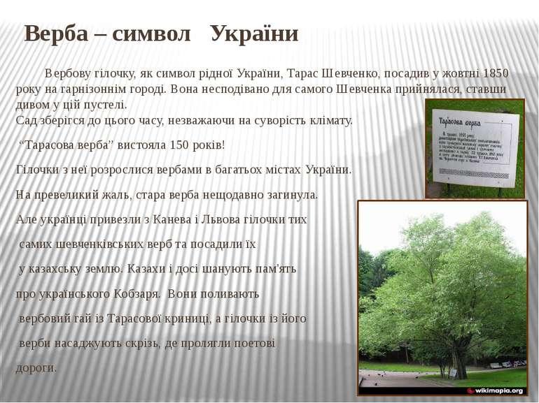 Верба – символ України Вербову гілочку, як символ рідної України, Тарас Шевче...