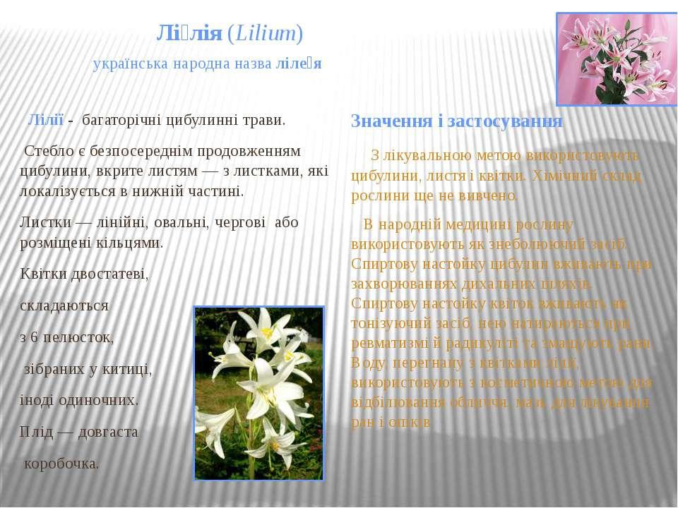Лі лія(Lilium) українська народна назваліле я Лілії- багаторічні цибулин...