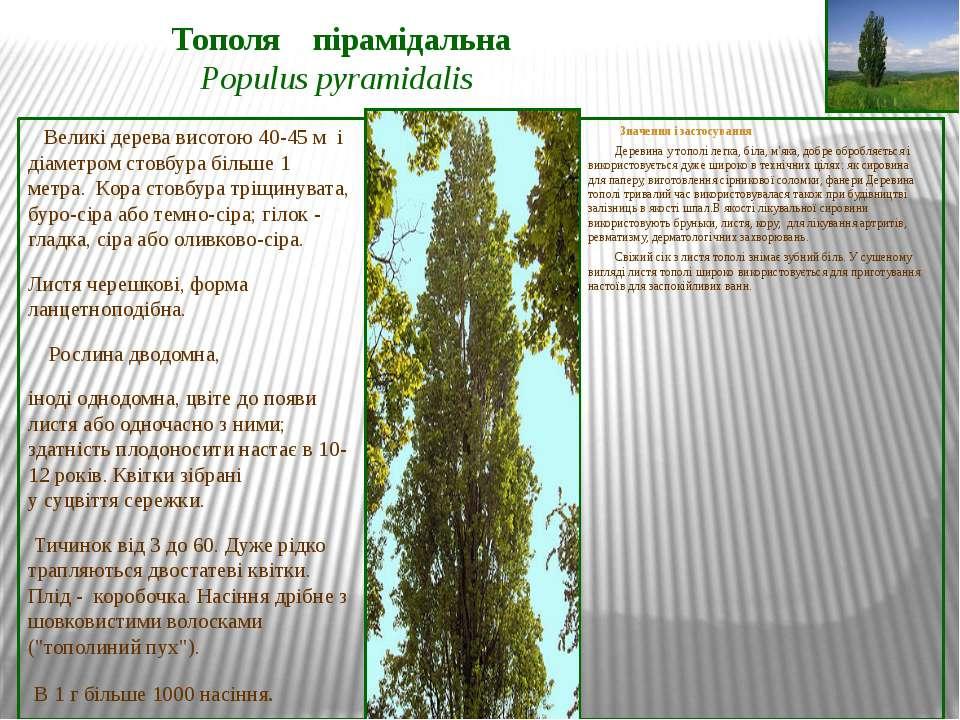 Тополя пірамідальна Populus pyramidalis Великі дерева висотою 40-45 м і діаме...