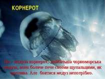 Це – медуза корнерот, найбільша чорноморська медуза, вона боляче пече своїми ...