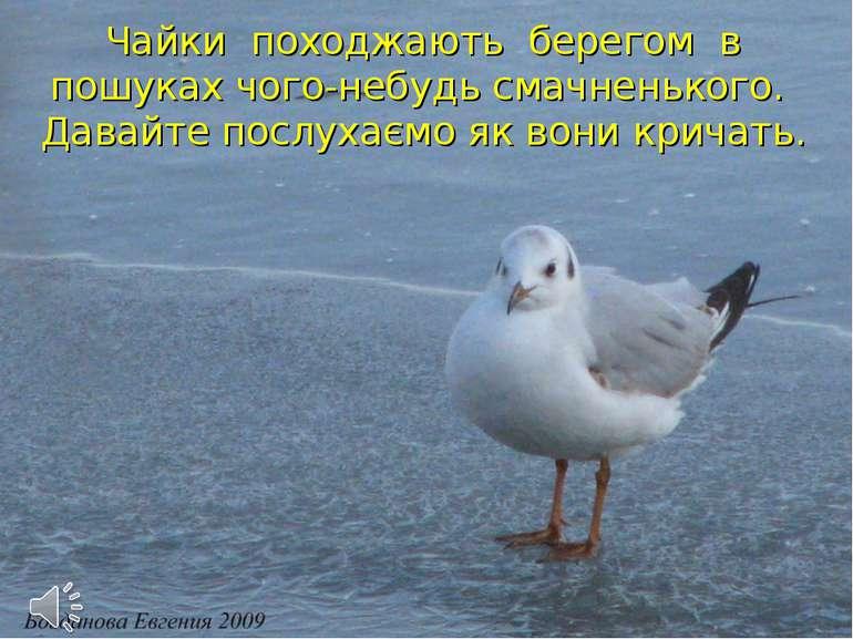 Чайки походжають берегом в пошуках чого-небудь смачненького. Давайте послухає...