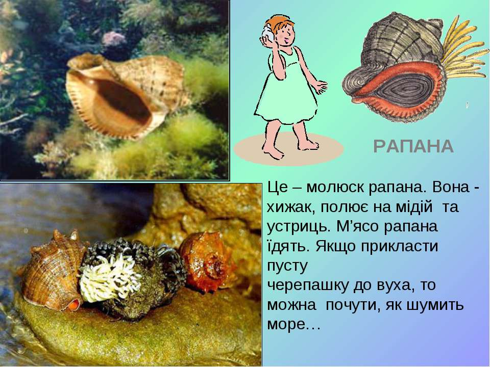 Це – молюск рапана. Вона - хижак, полює на мідій та устриць. М'ясо рапана їдя...