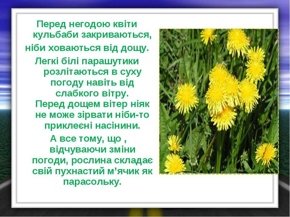 Перед негодою квіти кульбаби закриваються, ніби ховаються від дощу. Легкі біл...