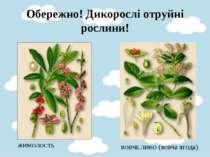 Обережно! Дикорослі отруйні рослини! ЖИМОЛОСТЬ  ВОВЧЕ ЛИКО (вовча ягода)