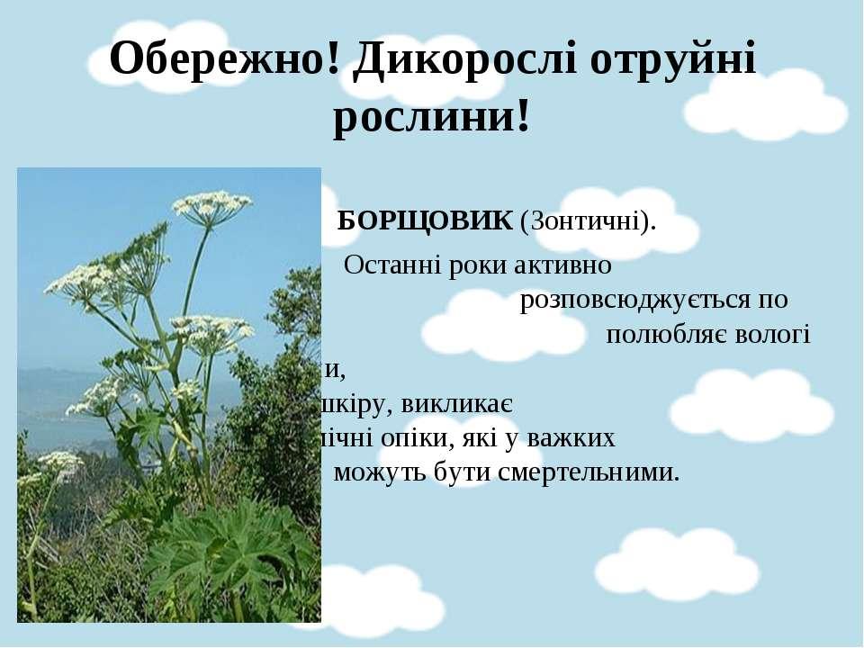 Обережно! Дикорослі отруйні рослини! БОРЩОВИК (Зонтичні). Останні роки активн...
