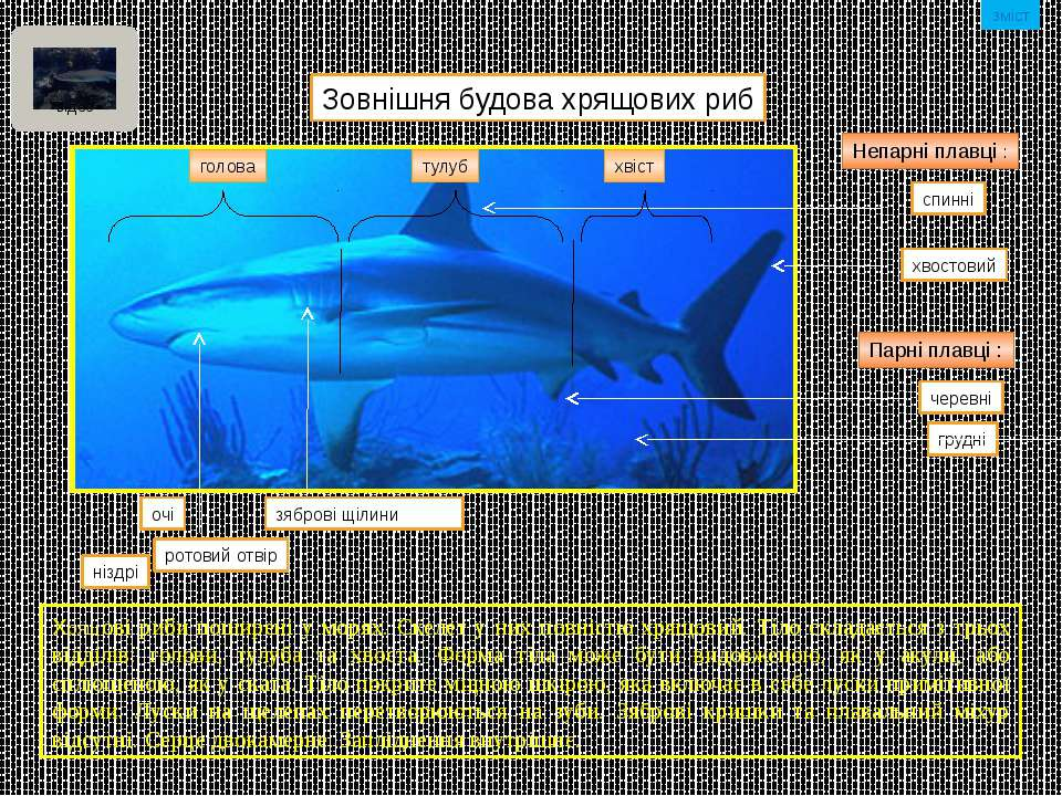 Зовнішня будова кісткових риб голова Очі Ніздрі Ротовий отвір хвостовий аналь...