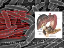 Підшлункова залоза - досить велика залоза, що розміщена в черевній порожнині,...