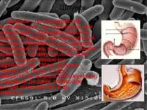 Шлунок - це порожнистий м'язовий орган, що перебуває між стравоходом і дванад...
