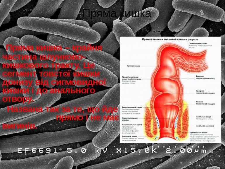 Пряма кишка – крайня частина шлунково-кишкового тракту. Це сегмент товстої ки...