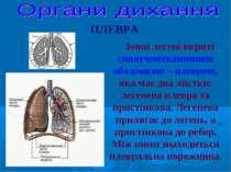 Зовні легені вкриті сполучнотканниною оболонкою – плеврою, яка має два листки...