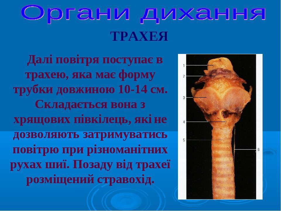 Далі повітря поступає в трахею, яка має форму трубки довжиною 10-14 см. Склад...
