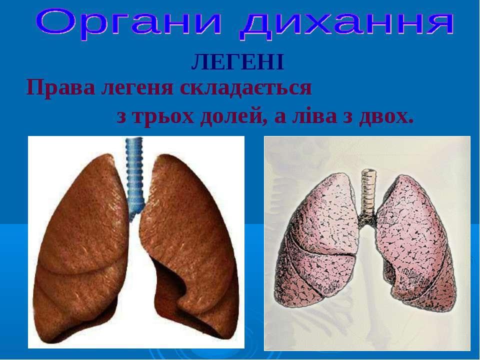 ЛЕГЕНІ Права легеня складається з трьох долей, а ліва з двох.