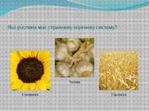 Яка з наведених рослин формує бульбокорінь? Картопля Буряк Батат