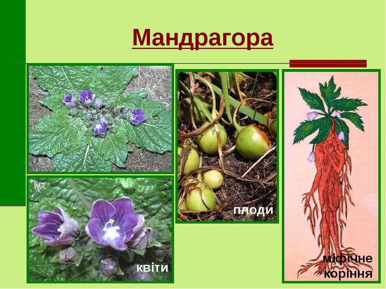 Мандрагора квіти плоди міфічне коріння