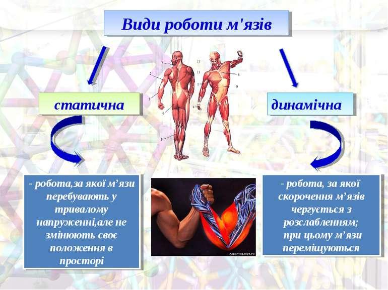 Види роботи м'язів статична динамічна - робота,за якої м'язи перебувають у тр...