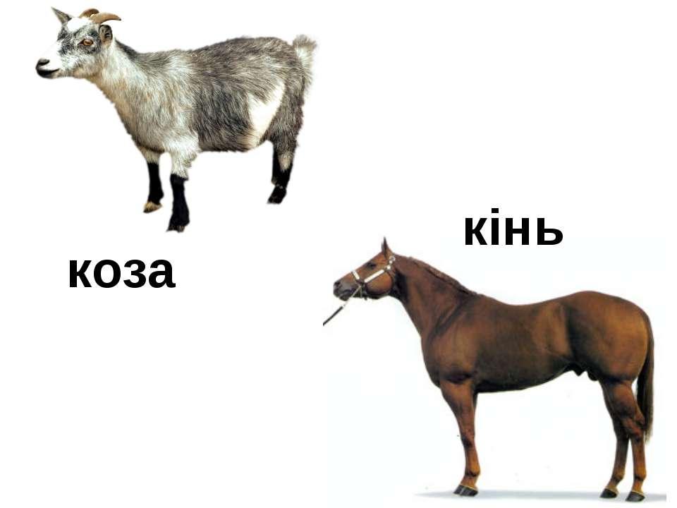 коза кінь