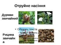 Отруйне насіння Дурман звичайний Рицина звичайна