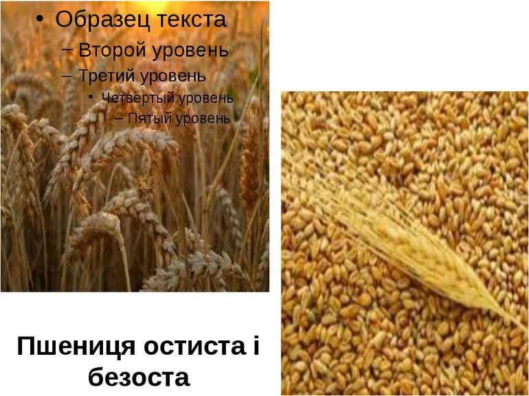 Пшениця остиста і безоста