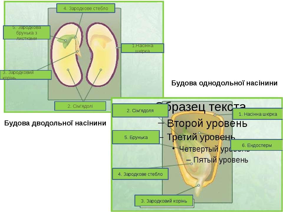 8о 4. Зародкове стебло 5. Зародкова брунька з листками 3. Зародковий корінь 1...