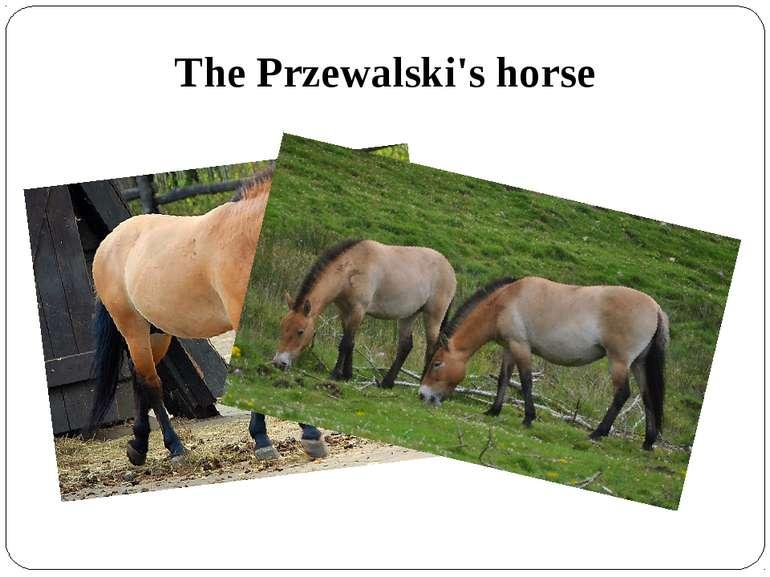 The Przewalski's horse