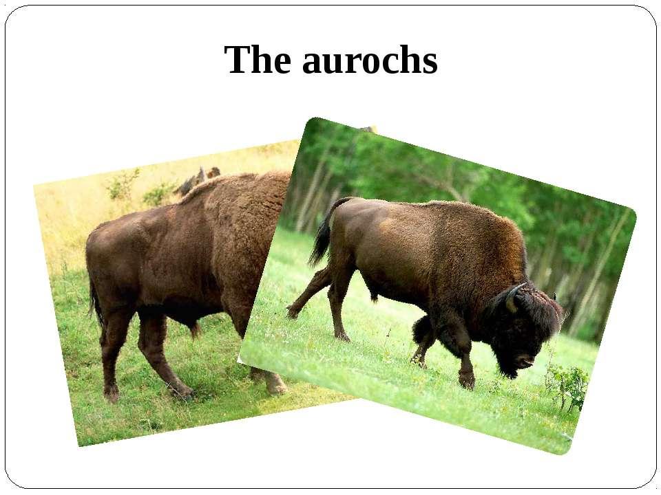 The aurochs