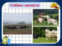 Собаки пастухи