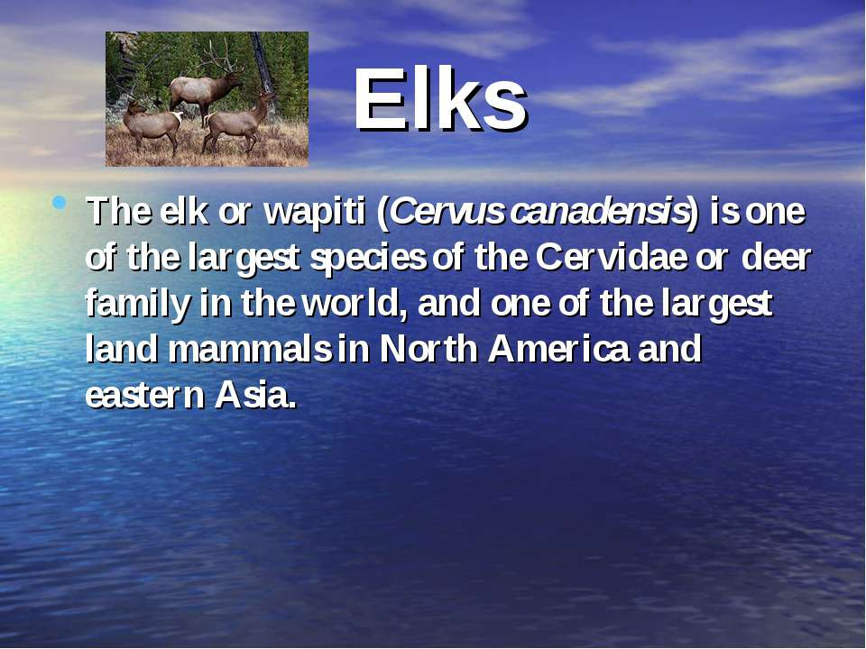Elks The elk or wapiti (Cervus canadensis) is one of the largest species of t...