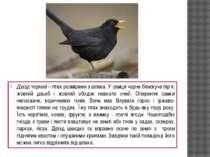 Дрізд чорний – птах розмірами з шпака. У самця чорне блискуче пір'я, жовтий д...