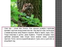 Сова сіра – осілий птах Полісся. Птах середніх розмірів,з короткими крилами і...