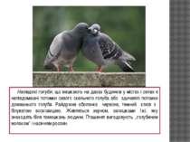 Напівдикі голуби, що мешкають на дахах будинків у містах і селах є напівдомаш...
