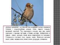 Дубонос звичайний – це співочий птах розмірами з шпака з великою головою і ко...