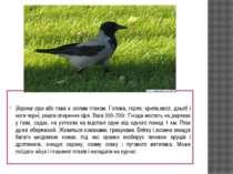 Ворона сіра або ґава є осілим птахом. Голова, горло, крила,хвіст, дзьоб і ног...