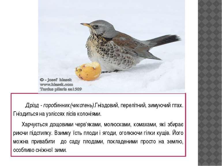 Дрізд - горобинник (чикотень).Гніздовий, перелітний, зимуючий птах. Гніздитьс...