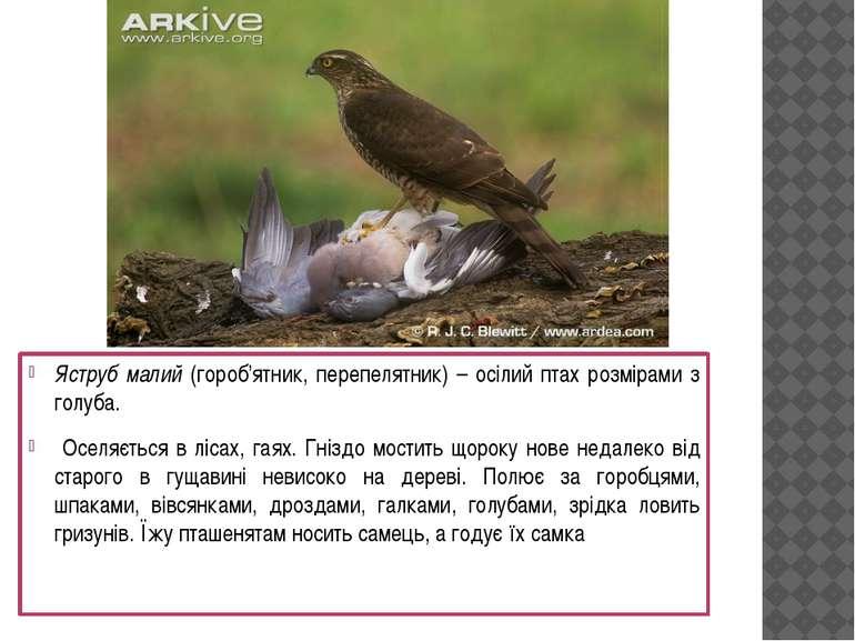 Яструб малий (гороб'ятник, перепелятник) – осілий птах розмірами з голуба. Ос...