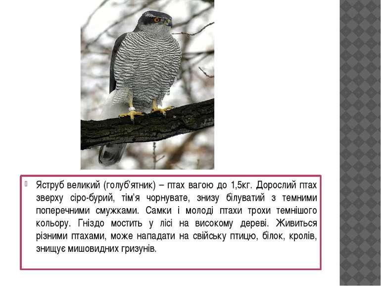 Яструб великий (голуб'ятник) – птах вагою до 1,5кг. Дорослий птах зверху сіро...