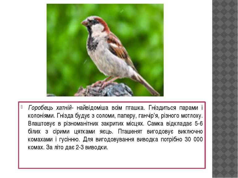 Горобець хатній- найвідоміша всім пташка. Гніздиться парами і колоніями. Гніз...