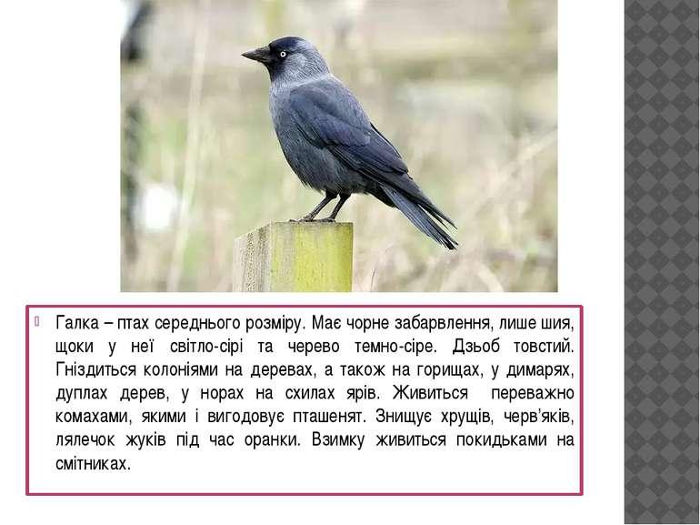 Галка – птах середнього розміру. Має чорне забарвлення, лише шия, щоки у неї ...