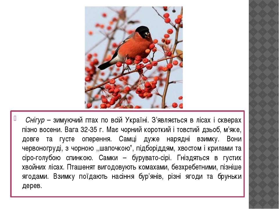 Снігур – зимуючий птах по всій Україні. З'являється в лісах і скверах пізно в...