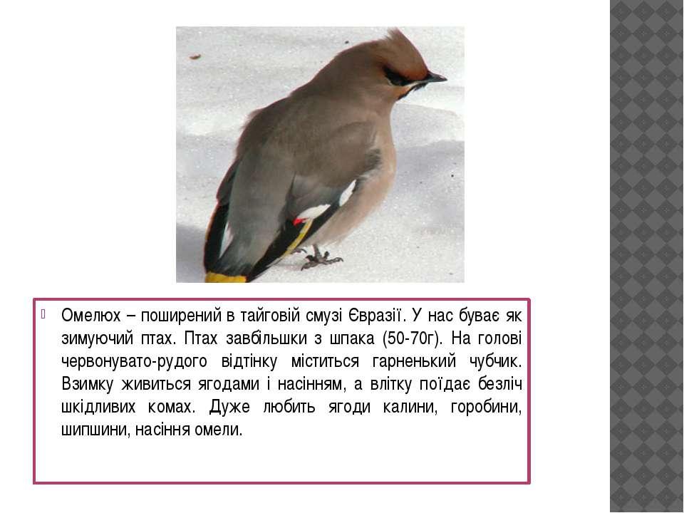 Омелюх – поширений в тайговій смузі Євразії. У нас буває як зимуючий птах. Пт...