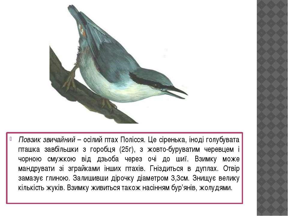 Повзик звичайний – осілий птах Полісся. Це сіренька, іноді голубувата пташка ...