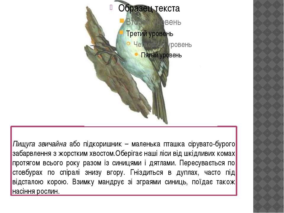 Пищуга звичайна або підкоришник – маленька пташка сірувато-бурого забарвлення...