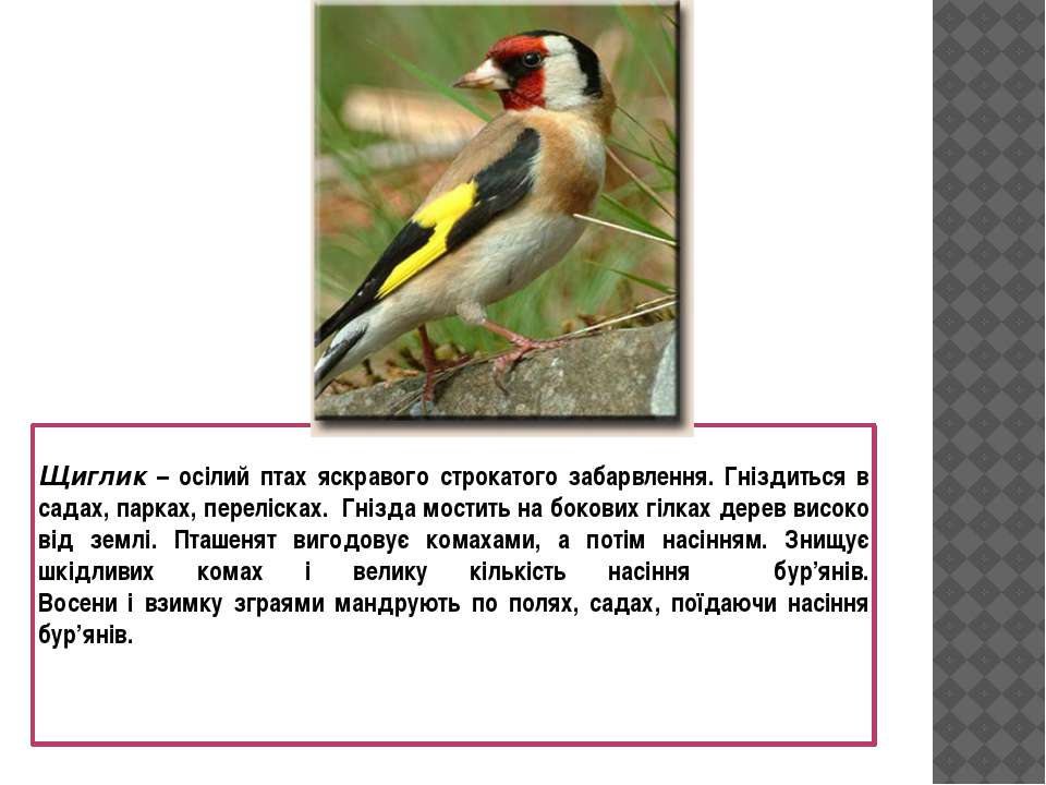 Щиглик – осілий птах яскравого строкатого забарвлення. Гніздиться в садах, па...