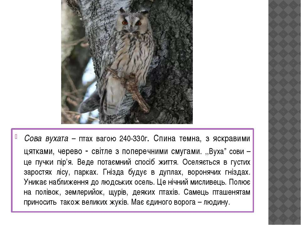Сова вухата – птах вагою 240-330г. Спина темна, з яскравими цятками, черево -...