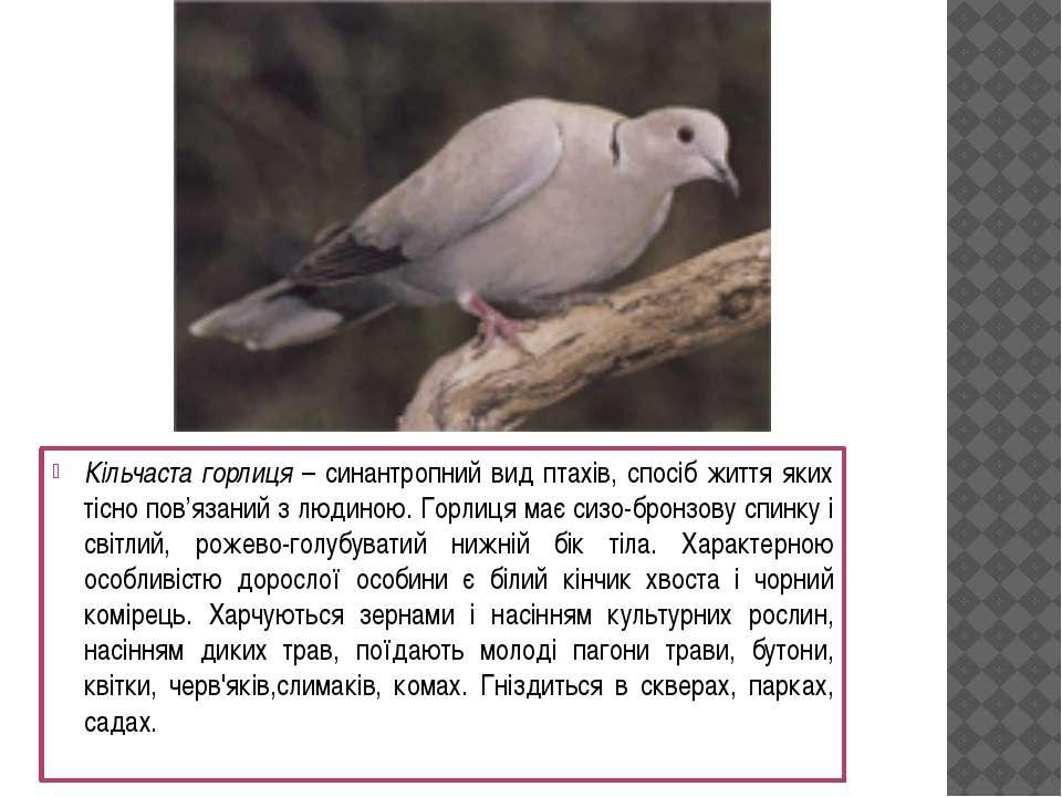 Кільчаста горлиця – синантропний вид птахів, спосіб життя яких тісно пов'язан...