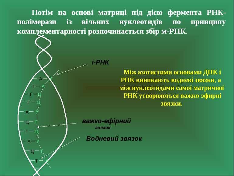Потім на основі матриці під дією фермента РНК-полімерази із вільних нуклеотид...