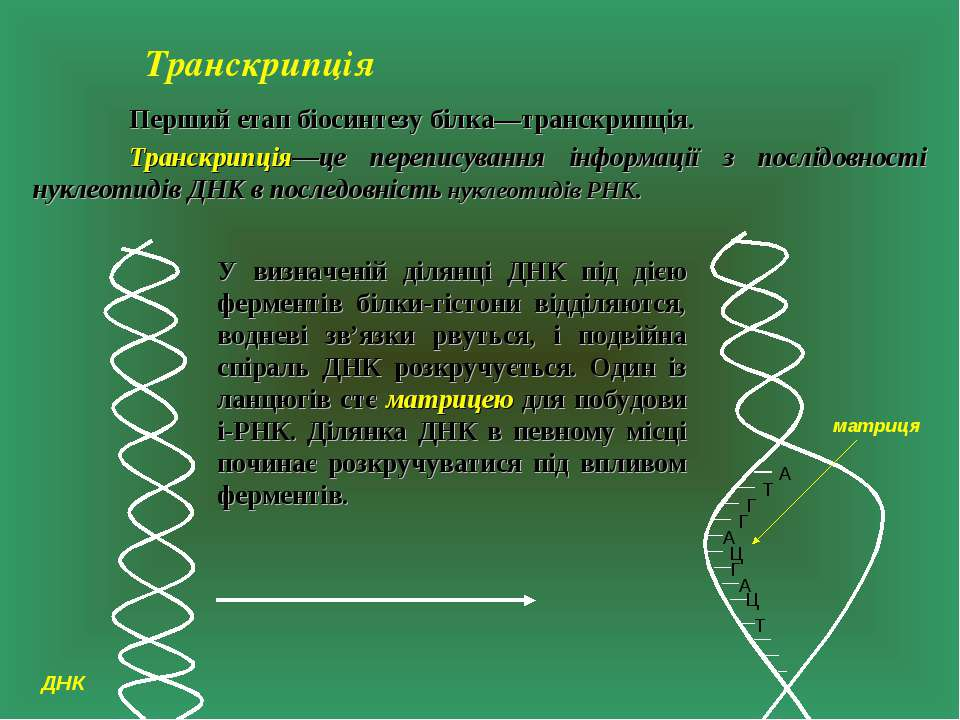 Транскрипція Перший етап біосинтезу білка—транскрипція. Транскрипція—це переп...