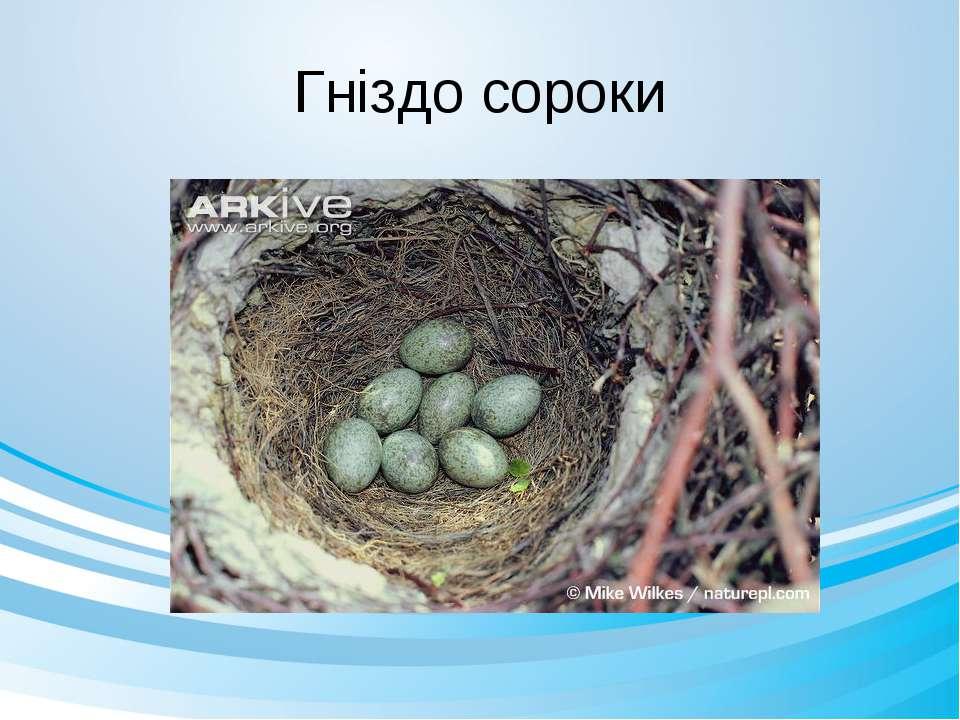 Гніздо сороки